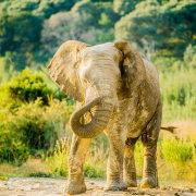 elephant, safari, wildlife