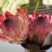 flower, protea